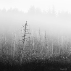 ghosts (Masako Metz) Tags: dead trees fog nature landscape blackandwhite monochrome forest oregon coast pacific northwest beavercreek
