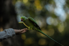 Fly-by-apple-grab (PChamaeleoMH) Tags: birds centrallondon feeding hands interaction london parakeet people ringneckedparakeets stjamesspark