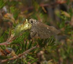 Oh thats sweet. (ron_n_beths pics) Tags: westernaustralia perthbushlands lepidoptera