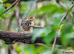OVENBIRD (imeshome) Tags: ovenbird nature wildlife trails wildwood lake canal lifer new trees