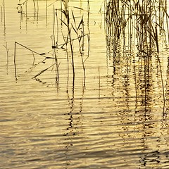 Gold (Stefano Rugolo) Tags: stefanorugolo pentax k5 pentaxk5 smcpentaxm100mmf28 ricoh gold reeds water reflections abstract backlight ripples lake pov sunset light sweden ricohimaging glow