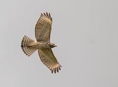 Juvenile Red-shouldered Hawk (Mark Schocken) Tags: buteolineatus hawk birdinflight raptor markschocken