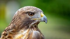 The Look (michel1276) Tags: bussard buzzard bird vogel birdofprey sony tier animal sonya7iii fe8514gm