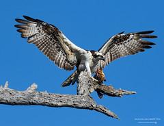 Osprey (part 2) (1gwords) Tags: osprey california prey fish bolsa chica orange county canon 7d