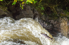 _DWM9025 (daviemoran1) Tags: atlanticsalmon riveralmond glenalmond waterfall torrent spate migrating perthshire scotland wildlife buchantyspout nature