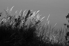 grass in greyscale (EllaH52) Tags: grayscale monochrome blackwhite grass nature faded autumn