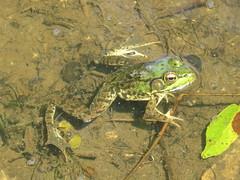 Green Frog 2 (D. S. Hałas) Tags: halas hałas canada ontario haltonregion haltoncounty milton nassagaweyatownship haltonregionalforest robertsontract chordata sarcopterygii amphibia anura ranidae lithobatesclamitans ranaclamitans greenfrog frog