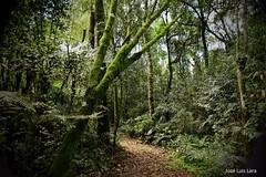 Sendero en la selva (pepelara56) Tags: selva jungla jungle árboles lianas musgos verde húmedo