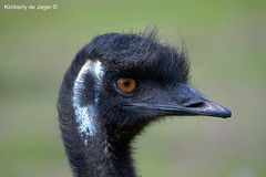 Emu, Zooparc Overloon (kimberlydejager) Tags: bird vogel nederland netherlands animal zooparc overloon thenetherlands nikon d3200
