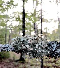 Beautiful Decay 1 (Neal3K) Tags: decay limb lichens bokeh