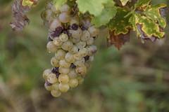 Trosje wijndruiven in een wijngaard aan de Moezel 07-10-2018 (marcelwijers) Tags: trosje wijndruiven een wijngaard aan de moezel 07102018 deutschland duitsland allemagne germany wine grapes raisins cuve mosel valley weintrauben