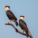 A pair of Northern Crested Caracaras