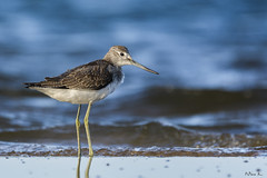 Kwokacz/Common greenshank #3 (mirosławkról) Tags: wild wildlife animal bird nature nikonnaturephotography 150600 greenshank sea water beach blue wave
