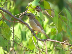 Pachycephala simplex simplex 2 (barryaceae) Tags: east point reserve monsoon forest walk darwin nt northern territory ausbird ausbirds pachycephala simplex top end grey whistler