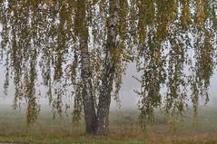 Birchs / Берёзки (SerenitySS) Tags: осень autumn октябрь october пейзаж landscape ландшафт landschaft россия russia смоленскаяобласть smolenskregion природа nature дерево tree туман mist fog берёза betula birch трава grass безмятежность спокойствие serenity листва