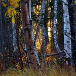 Sun and birches thumbnail