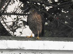Sparrowhawk in the garden (FergalSandra) Tags: dundalk louth ireland sparrowhawk