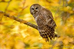 What? (Earl Reinink) Tags: what autumn woods owl barredowl earlreinink branch forest color fall nature outdoors wildlife raptor predator udoddadaza bird tree macro animal hawk