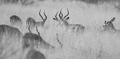 Impalas in high dry grass - Lebombo - South Africa (lotusblancphotography) Tags: africa southafrica wildlife faune animal safari impalas monochrome blackandwhite
