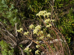 Pale stonecrop (Sedum sediforme), Pebrieres (Niall Corbet) Tags: france occitanie languedoc roussillon aude pebrieres palestonecrop sedumsediforme