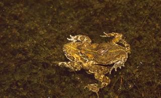 Natterjack Toads (Epidalea calamita) amplexus with babies watching ...