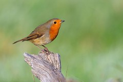 Robin 118748 (wildlifetog) Tags: robin blackmore britishisles britain bird birds british brading mbiow martin marsh isleofwight uk wild wildlife nature canon england european eos7dmkii rspb