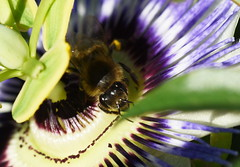 DSC_1803 Passion Flower with Bee (PeaTJay) Tags: nikond750 sigma reading lowerearley berkshire macro micro closeups gardens nature flora fauna plants flowers passionflower insects bee bees outdoors