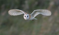 Ghost (KHR Images) Tags: barnowl barn owl tytoalba wild bird birdofprey flying inflight hunting dusk woodlwaltonfen greatfen bcnwildlifetrust cambridgeshire wildlife nature nikon d500 kevinrobson khrimages