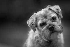 Pepper (g3az66) Tags: pepper borderterrier border terrier dog monochrome