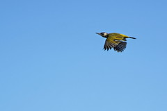 Pic vert A7309215_DxO (jackez2010) Tags: ilce7m3 sel14tc fe100400mmf4556gmoss picvert bif birdinflight