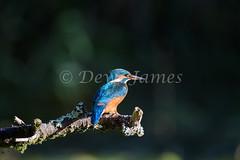 20180924 Forest Farm - 8 (Dewi James) Tags: forestfarm wales birds bird kingfisher cardiff