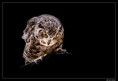 Owl In The Dark (Ken Mickel) Tags: animal animals arizona birds kenmickelphotography owl wildlife zoo bird nature photography williams unitedstates us