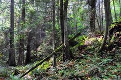 2018-10-10 Whistle Lake Trail 20 (08) (2048x1360) (-jon) Tags: anacortes skagitcounty skagit washingtonstate washington salishsea fidalgoisland sanjuanislands hike hiking walk walking woods forest pnw pacificnorthwest whistlelake trail anacortescommunityforestlands acfl trail20 leaves fall tree color colour a266122photographyproduction