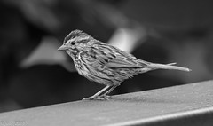 Bird (B&W) (JuanJ) Tags: nikon d850 lightroom art bokeh nature lens light landscape happy naturephotography outside people white green red black pink skyportrait location architecture building city square squareformat instagramapp shot awesome supershot beauty cute new flickr amazing photo photograph fav favorite favs picture me explore interestingness friends dof bird fowl bw kentucky ky georgetown august 2018 tamron