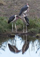 Marabou storks (RedPlanetClaire) Tags: african eastafrica safari tanzania serengeti national park wildlife wild animal animals marabou storks birds bird stork