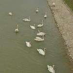 Labudovi u Dravi u Varaždinu (132PEACE_0832) thumbnail
