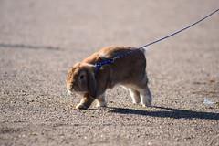DSC_0113 (klawerjanina) Tags: bunnyjump bunny kani kaniestekisat kanin kaninhoppning