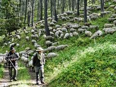 L'ancien et la P'tite Jeune (François Magne) Tags: berger bergère brebis troupeau estive alpage pastoraloup transhumance scene pastorale fz 300 lumix loup couchade