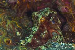 Octo5Oct5-18 (divindk) Tags: anacapa anacapaisland camouflage channelislands channelislandsnationalpark octopus octopusbimaculoides sanmiguelisland santabarbara santacruzisland santarosaisland underwater ventura bimacoctopus diverdoug marine ocean octo reef sea tentacles twospotoctopus underwaterphotography