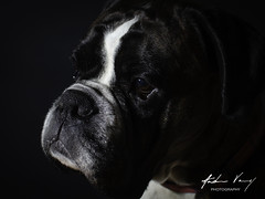 Oscar the Boxer (andrew.varney) Tags: dog boxer pets animals nikon d5100 portrait