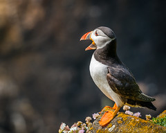 BE HEARD! BE STRONG! BE PROUD! I WANNA MAKE SOME NOISE!  ~Lemonade Mouth~ (Lorrainemorris) Tags: orange lorrainemorris red rock light 70200 wildlife nature colours bird ireland wexford salteeisland island bokeh mouth zeiss sony7rm2 sonyilce puffin