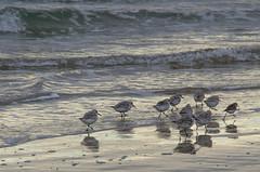 Sandpipers (Bud in Wells, Maine) Tags: wellsbeach morning sanderlings sandpipers shorebirds beach surf