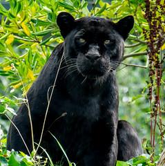 Black Jag (JKmedia) Tags: pantheraonca bigcat bigcats jaguar ferocious boultonphotography chesterzoo 2018 animal