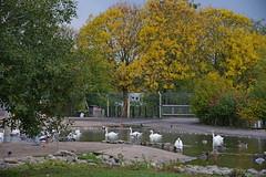 1508-08L (Lozarithm) Tags: slimbridge wwt swans k1 55300 hdpda55300mmf458edwr