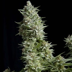 xalpujarrena-1.jpg.pagespeed.ic.IOTJx0G4RH (Watcher1999) Tags: cannabis marijuana medical seeds growing california jamaica strain bob marley plant feminized indica cbd strains weed weeds smoking ganja legalize it reggae