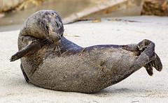 18A_1241 (Mark Ritter) Tags: seal seals macro lajolla california
