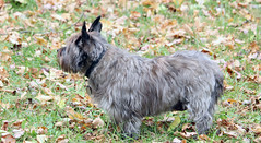 Sedum - 10/22/18 (myvreni) Tags: vermont nature autumn fall outdoors animals dogs cairnterriers pets