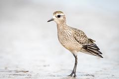 American Golden Plover (Melissa James Photography) Tags: pluvialisdominica goldenplover fortdesoto pinellas florida bird beach rarity nikond500 nikon300f4