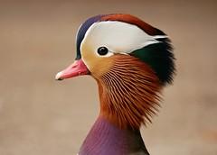 Mandarin duck (PhotoLoonie) Tags: mandarinduck duck waterbird wildlife nature perchingduck aixgalericulata