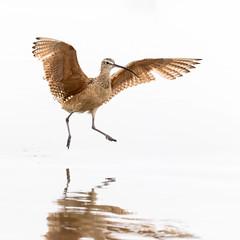 Ocean Dancer (Ronda Hamm) Tags: 100400mkii 7dii bird california animal canon feathers highkey nature outdoor whembrel wildlife wings